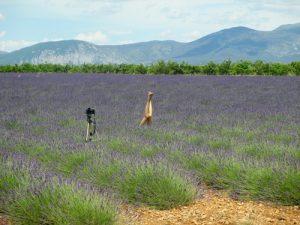 lavender-provence-copie