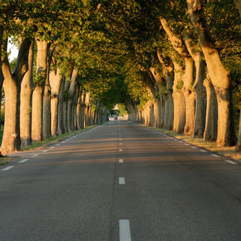 Road under canopy of trees