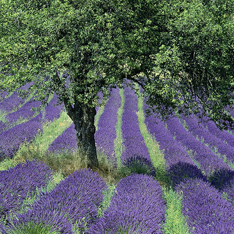 Olive tree in lavender field