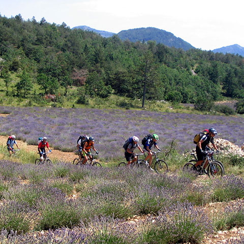 Bicycling through lavender field